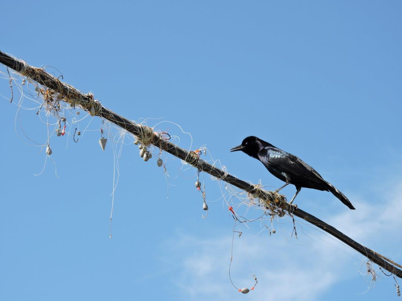 Fishing Line Entangled On Next To A Grackle